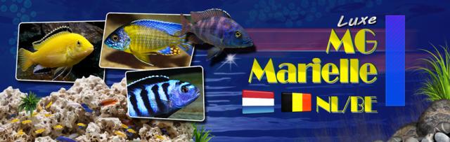 Malawi,vissen,aquarium